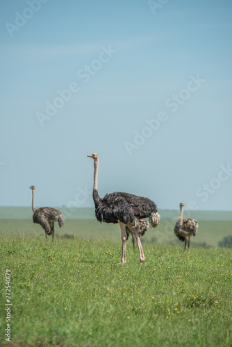 Stickers pour porte Autruche Beautiful ostrich in Africa. Animal world