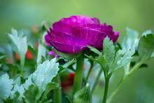 Purple Ranunculas Growing In Garden Against Green