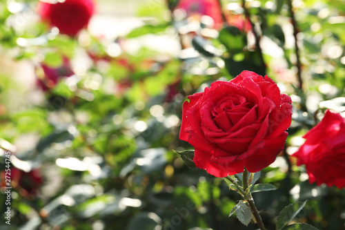Beautiful blooming rose in garden on sunny day, space for text
