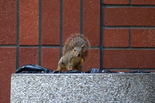 A Squirrel Searches For Food A...