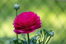 Bright Pink Ranunculas Growing In Garden Against Green