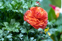 Orange Ranunculas Growing In Garden Against Green