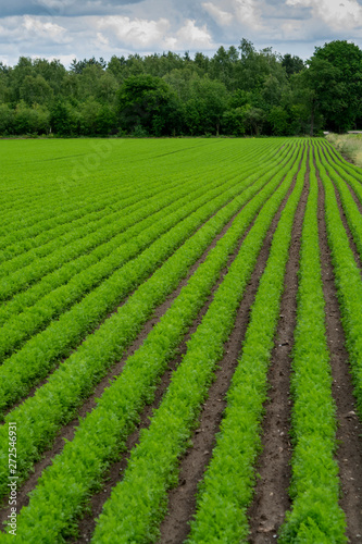 Field with green carrot plants growing in rows Wallpaper Mural