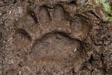 Large Bear Print In Muddy Trail
