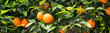 orange fruit on the trees