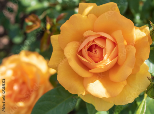 """South Africa"" rose in dappled sunlight"
