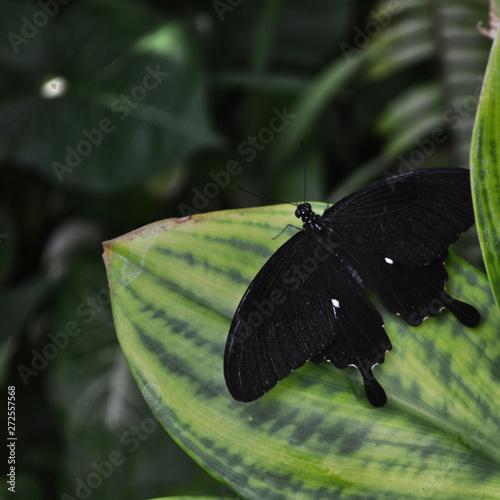 Black Butterfly on Green Leaves in Aruba
