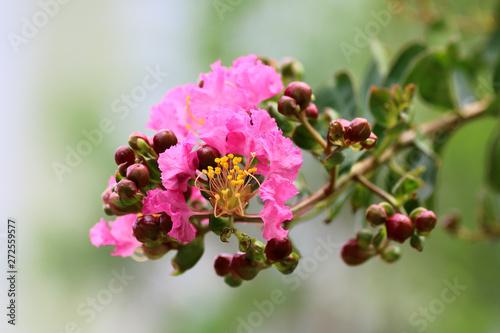 Fototapeta pink flower on green background, Crape myrtle, Crape flower, Indian lilac obraz