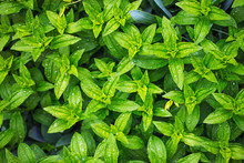 Plants Leaves Nature Background, Organic Natural Petal Pattern, Beauty Of Nature After Rain, Eco-friendly Summer Greenery Background