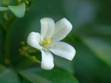 White Flower Of Orange Jessami...