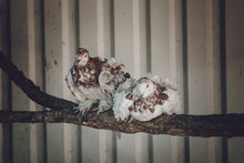 A Pair Of White Brown Frillback Pigeons Sit On A Branch. Two Curly Pigeons