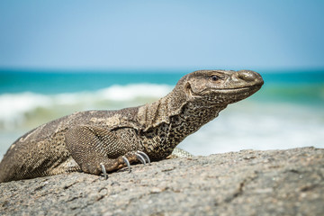 Wild varan on the rocks by ...