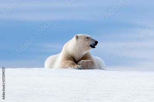 Recess Fitting Polar bear Polar bear laying on the frozon snow of Svalbard