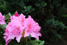 Blooming Pink Rhododendron Flower In Spring. Gardening Concept. Flower Background