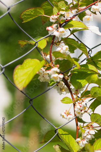 Photo Actinidia climbing plant with flowers on the fence