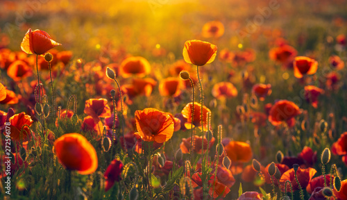 natural composition of blooming field poppies, herbs and field flowers