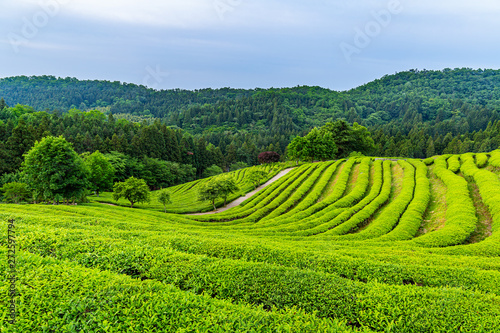 Montage in der Fensternische Lime grun A landscape view of the green tea fields of Boseong in the early morning, south korea