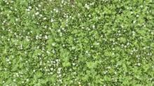 Top View Of Field With Dandelions. Taráxacum Officinále, Taraxacum, Blowball.