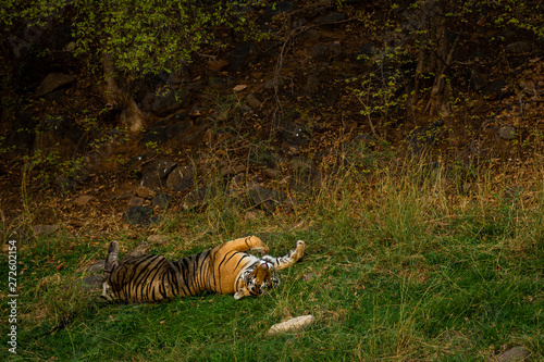In de dag Tijger On a beautiful evening and in a cold breeze A royal bengal male tiger with different yoga postures and expressions on a green grass at ranthambore national park, india