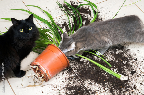 Black cat dropped and broke flower pot with green plant on the k Fototapeta