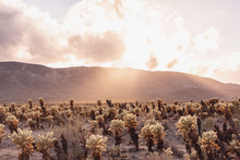 Cholla Cactus Garden At Sunset...