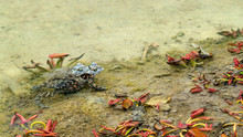 Two Frogs Mating In Shallow Wa...