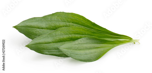 Fotografia, Obraz  Great plantain, plantago major medicinal plant isolated on white background