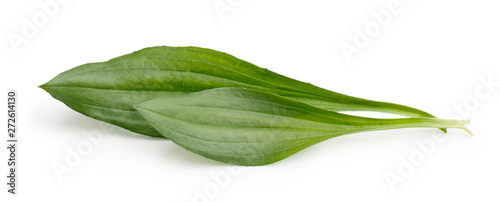 Fototapeta Great plantain, plantago major medicinal plant isolated on white background