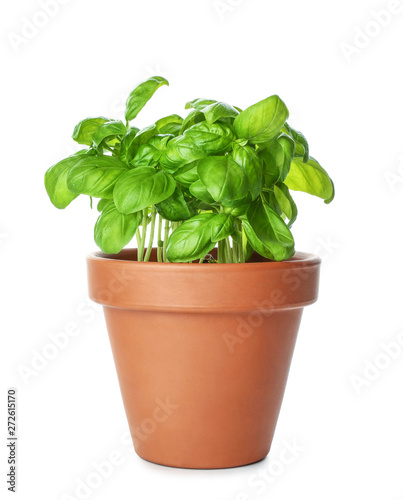 Fresh basil in pot on white background Fototapete