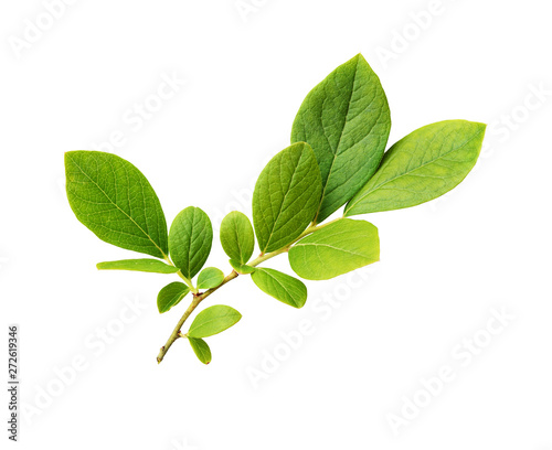 Fotografía  Green leaves of blueberry