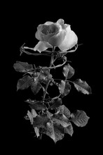 Pink Rose Entwined With Barbed Wire On A Black Background. Black-and-white Photo.