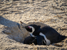 African Penguin, Black-footed ...