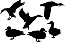 Seven Flying And Standing Ducks Black Silhouettes On White