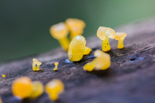 Yellow Fungus On Dry Wood In T...