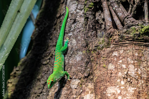 Recess Fitting Chameleon Green Geko from Masoala Madagaskar hanging tree