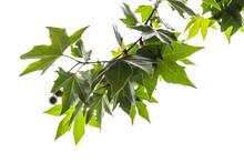 Branch Of London Plane Tree