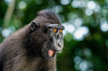 The Celebes Crested Macaque Wi...