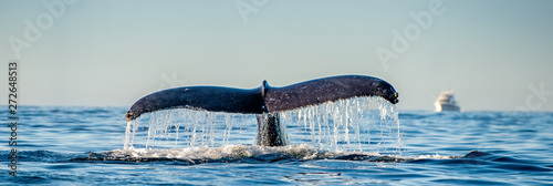 Tail fin of the mighty humpback whale above  surface of the ocean Canvas Print