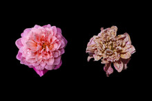 Isolated Fresh And Dried Flower On Black Background.