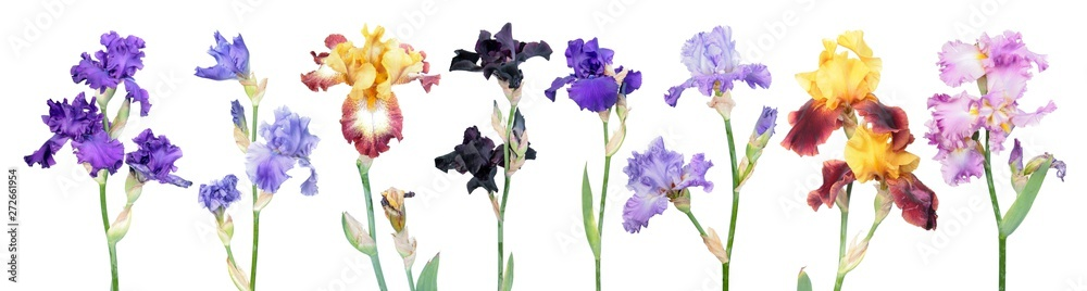 Fototapeta Big set of different color iris flowers with green leaves isolated on white background. General view of flowering plants. Cultivars from Tall Bearded (TB) iris garden group
