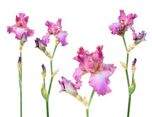 Set Of Pink Iris Flowers With Long Stem And Green Leaf Isolated On White Background. Cultivar From Tall Bearded (TB) Iris Garden Group