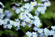 Forget Me Nots Flowers In Clos...