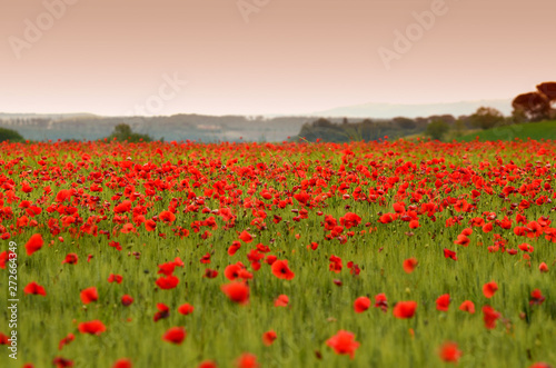 Fototapeta beautiful field of red poppies in a field of wheat at sunset in Tuscany near Monteroni d'Arbia (Siena). Italy. obraz na płótnie