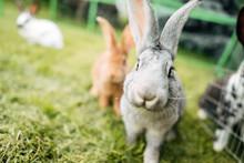Rabbit In Farm Cage Or Hutch. Breeding Rabbits Concept