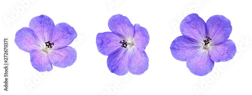 Set of geranium pratense flowers isolated on white