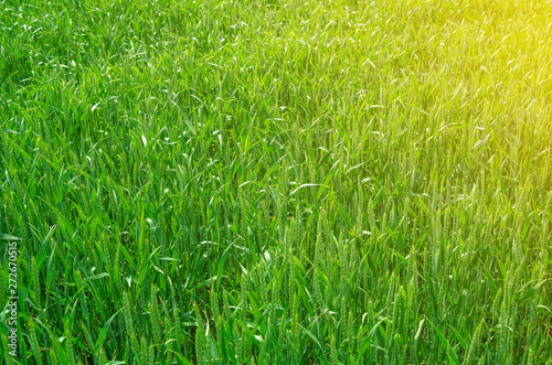Young green wheat in a field. Agricultural concept