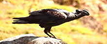 Thick Billed Raven Standing On A Rock