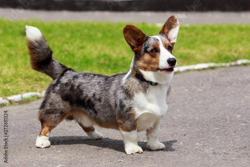 Fotografía  Dog breed Welsh Corgi Cardigan