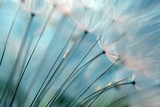 Fototapeta Dmuchawce - Dandelion.  Dandelion seeds close up. Soft focus