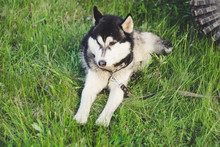 Husky Dog in The Grass. View On The Carpathian Mountains.